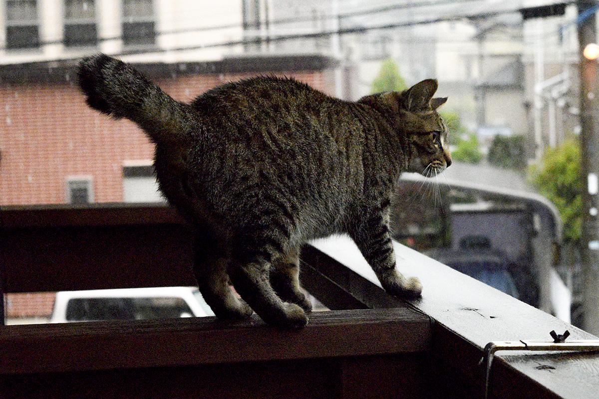 雷に驚くキジトラ猫の虎ノ介