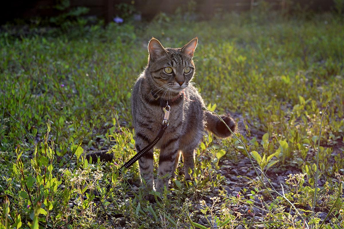 夕日の中で歩くキジトラ猫の虎ノ介