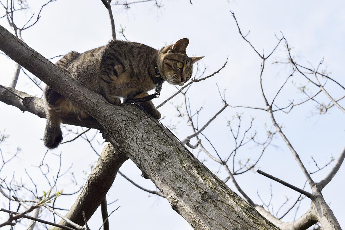 木に登って降りられなくなったキジトラ猫の虎ノ介