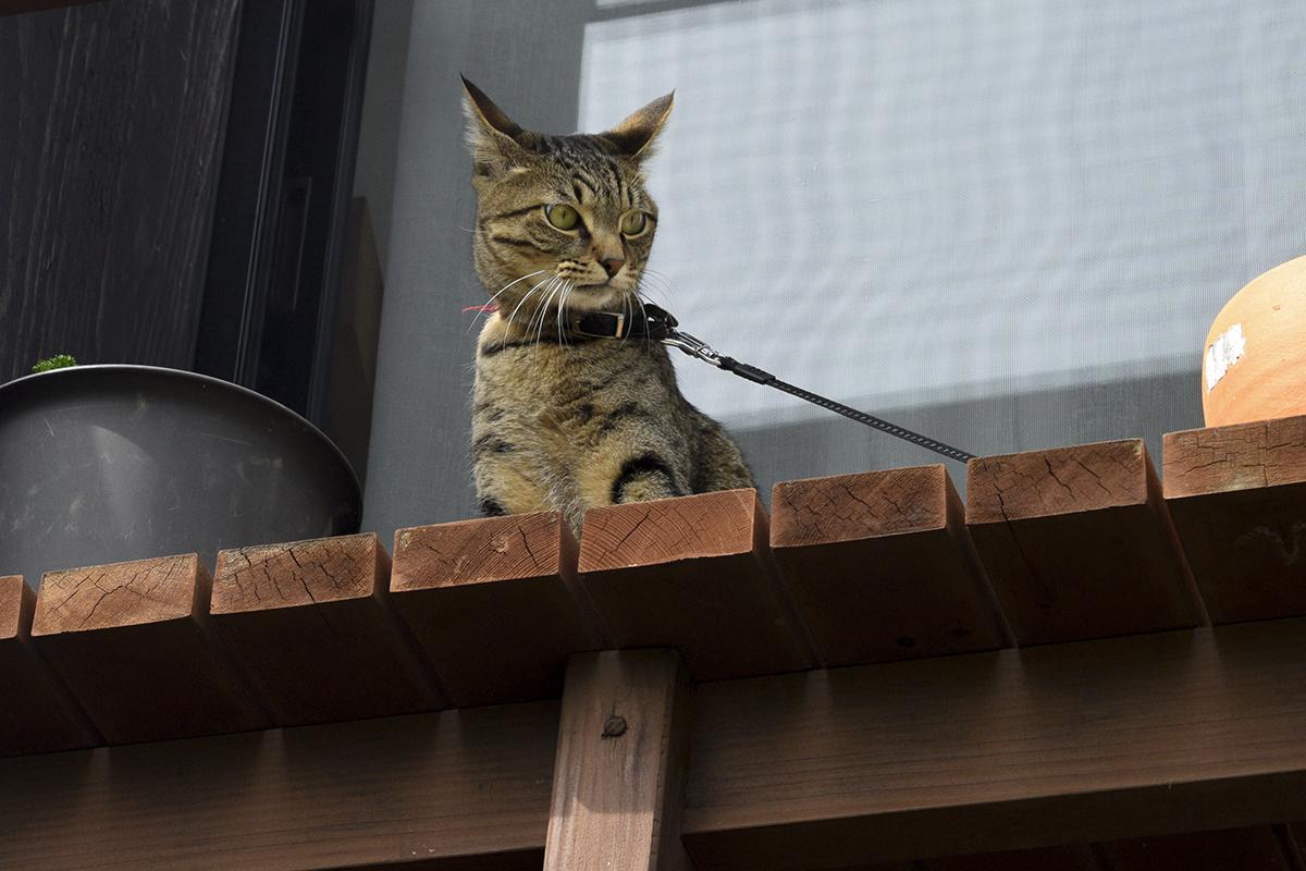 人間を踏み台にしてベランダに飛び乗ったキジトラ猫の虎ノ介