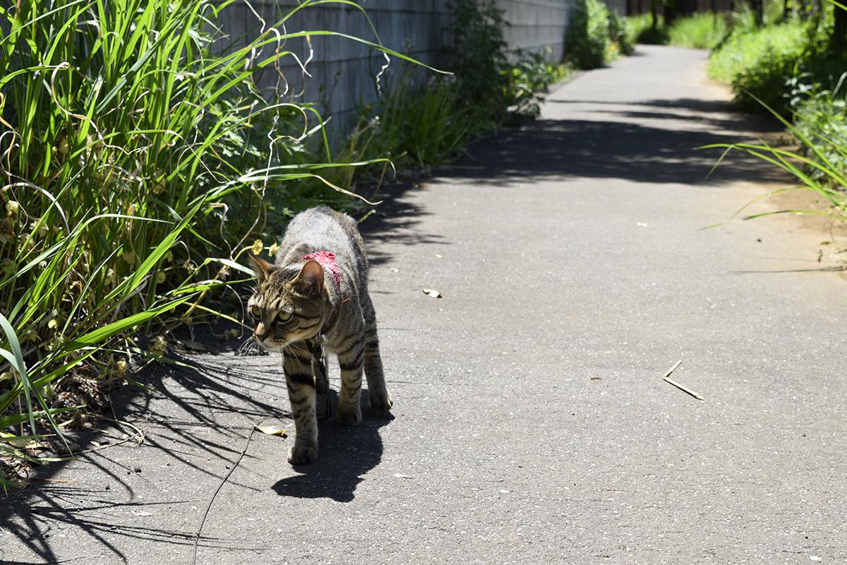 日影がほとんどない場所をかがみながら歩くキジトラ猫の虎ノ介