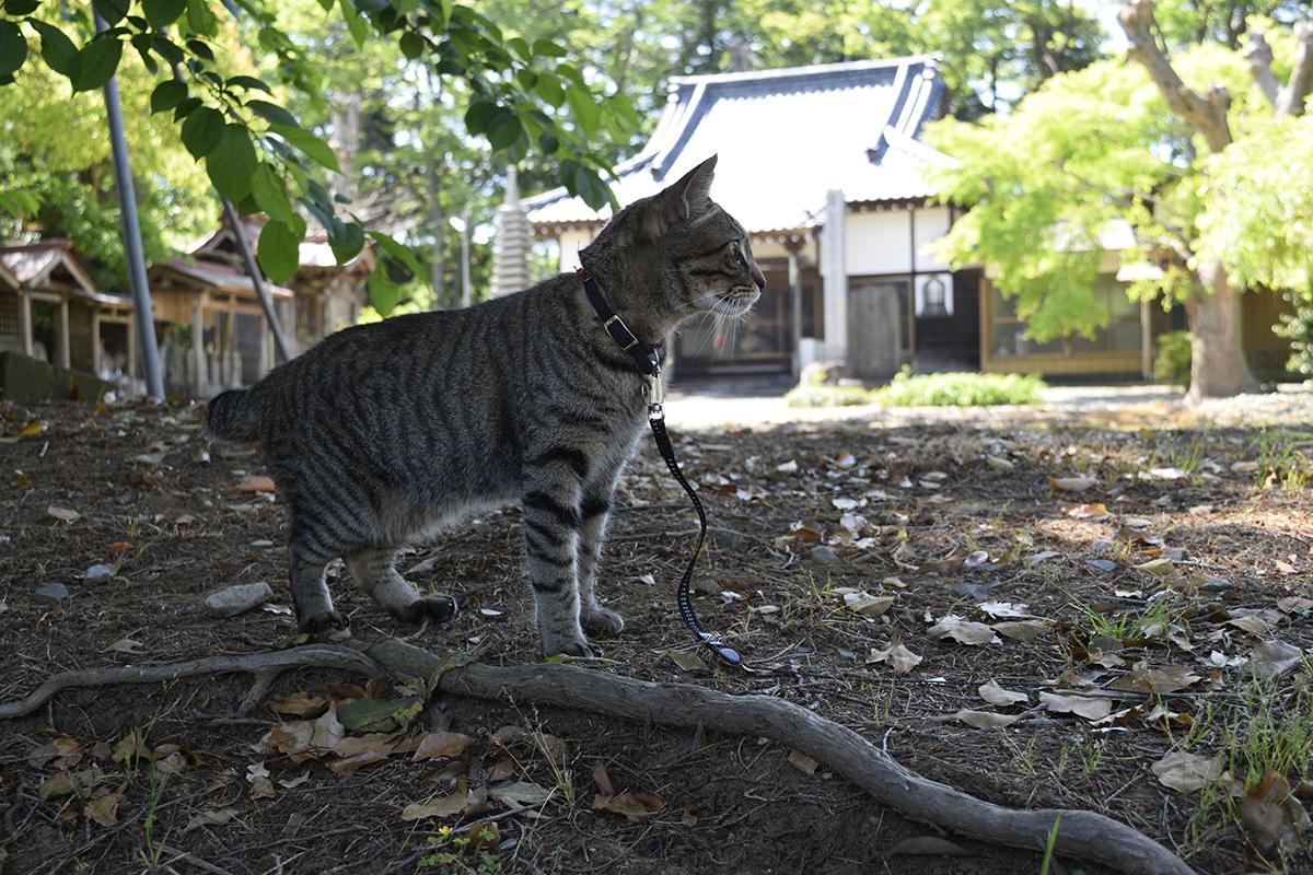 お寺に来たキジトラ猫の虎ノ介