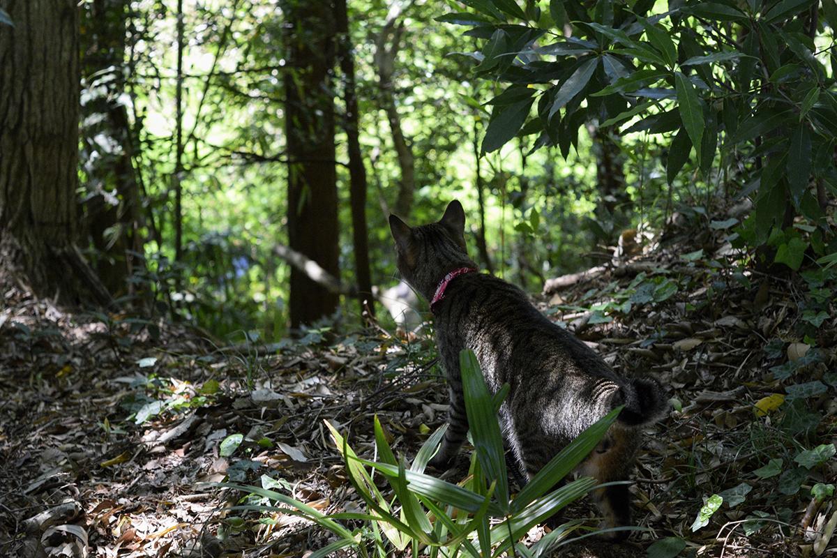 雑木林に心惹かれるキジトラ猫の虎ノ介