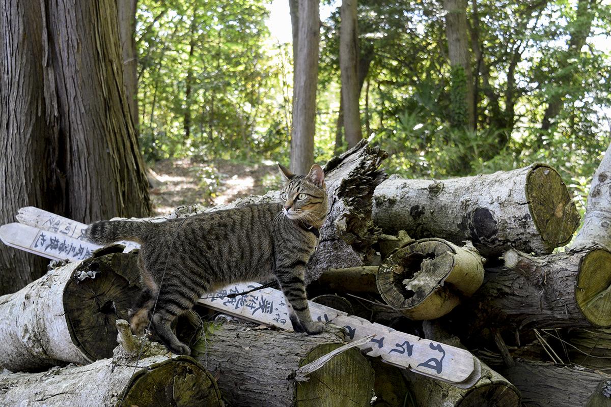 お寺の裏をを散策するキジトラ猫の虎ノ介