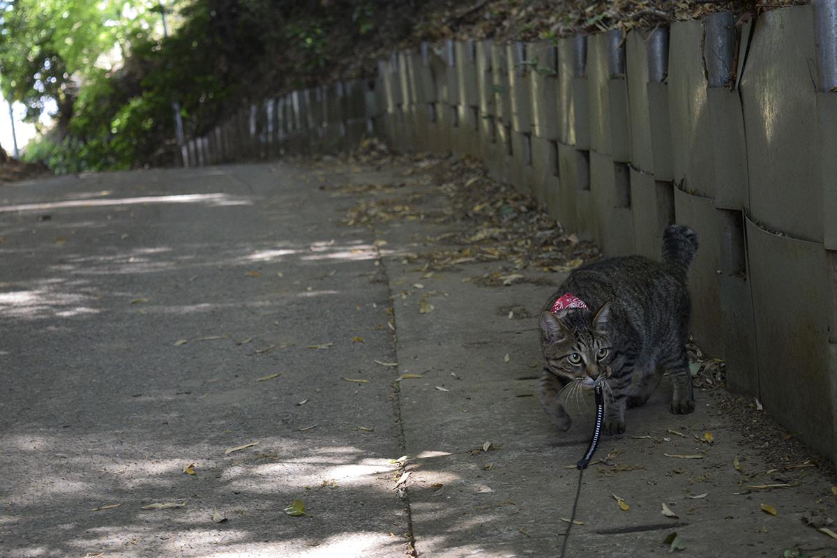 坂道を警戒しながら進むキジトラ猫の虎ノ介