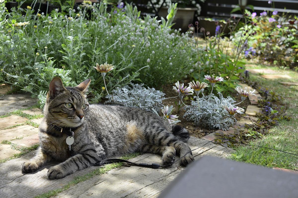 庭で風を感じながらのんびりすごすキジトラ猫の虎ノ介