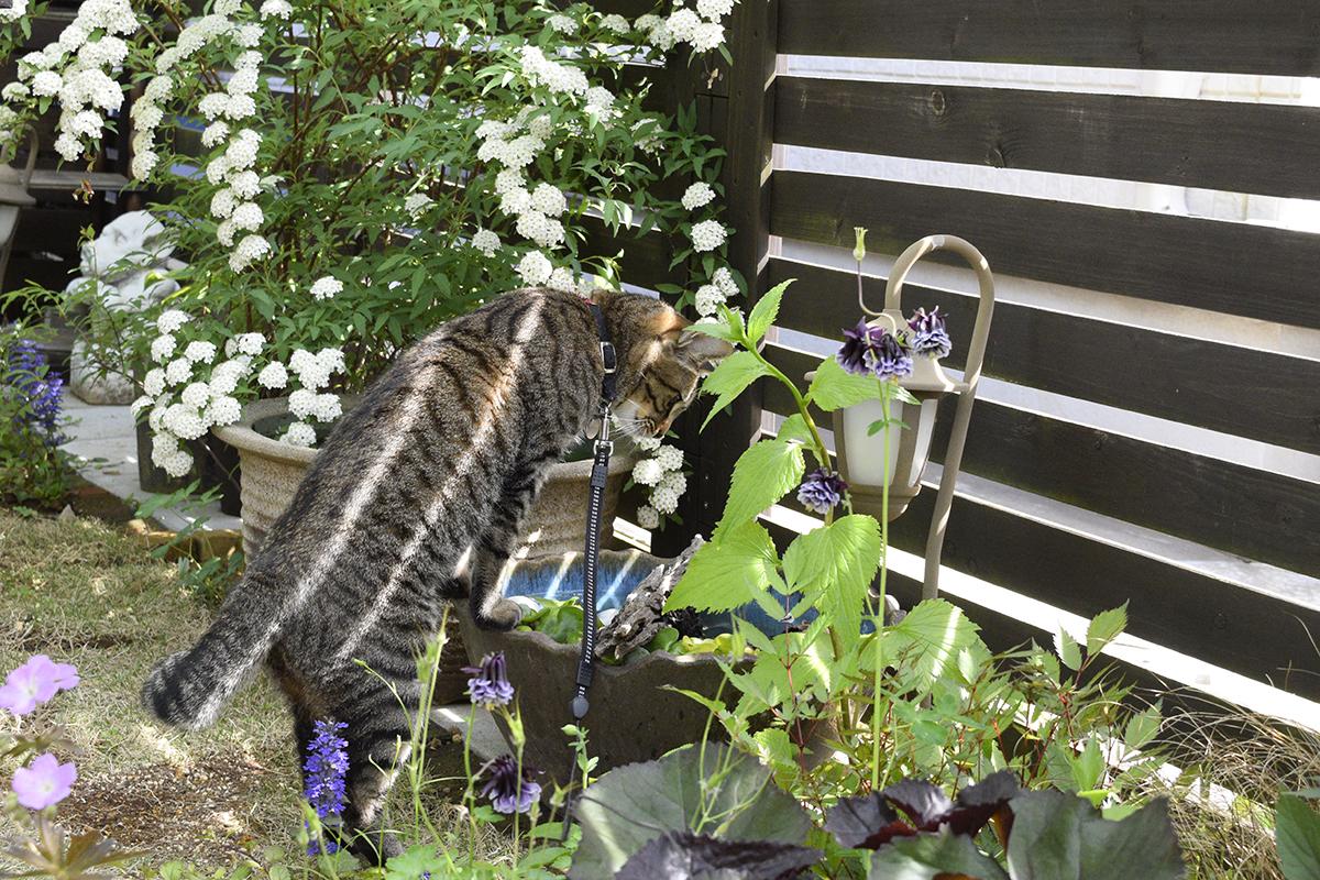 メダカが入っている水鉢を覗くキジトラ猫の虎ノ介