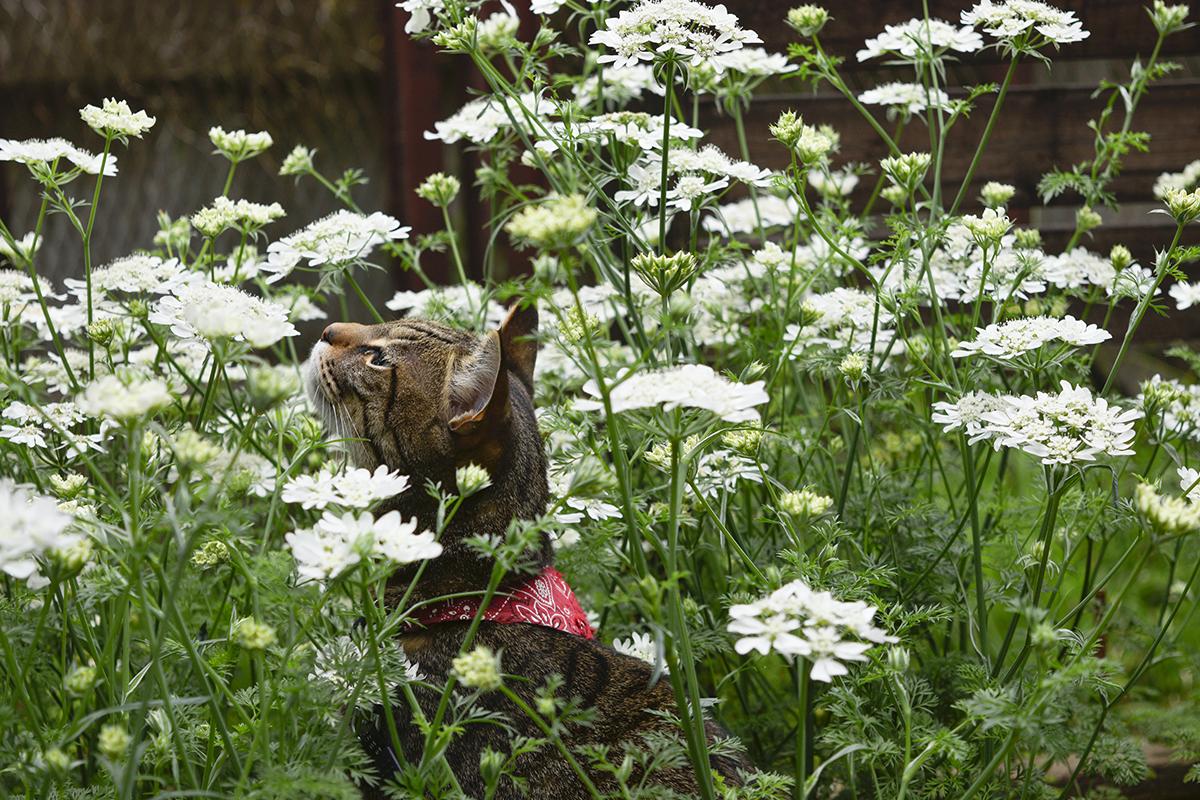 お花の中で虫を眺めるキジトラ猫の虎ノ介