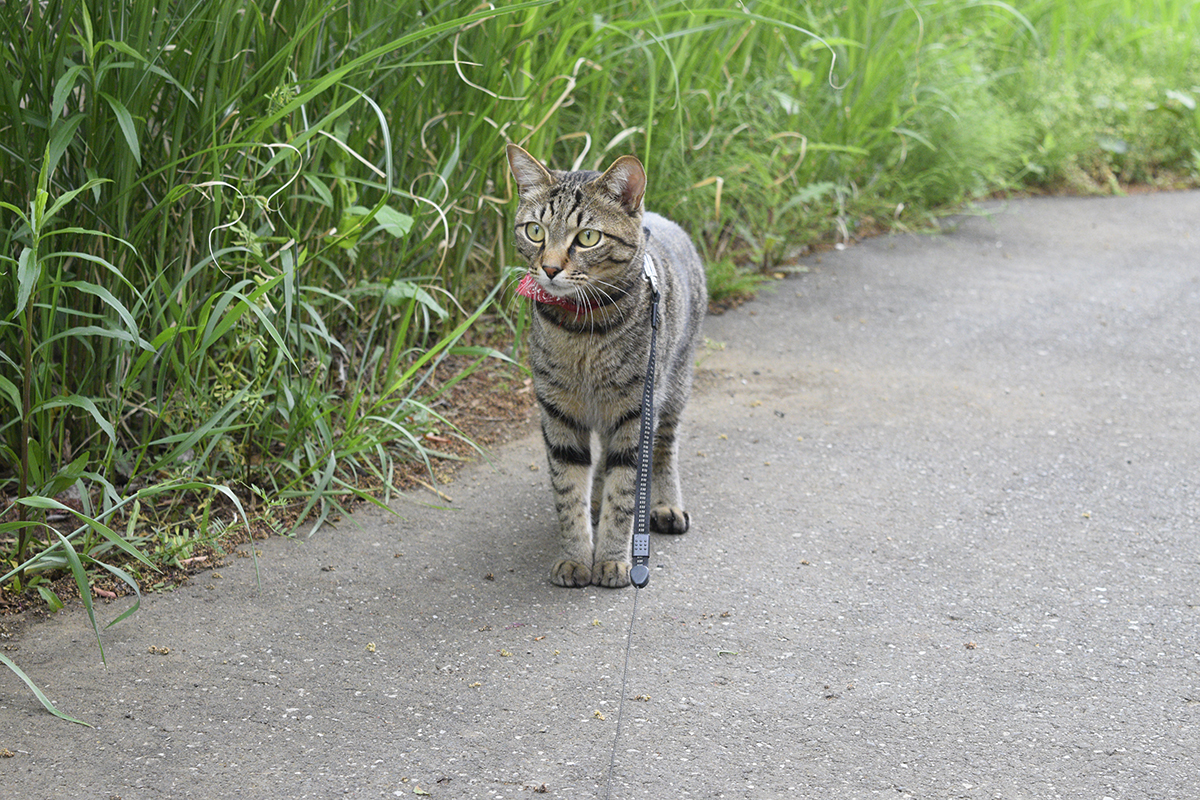 何かをみつけてはっとするキジトラ猫の虎ノ介