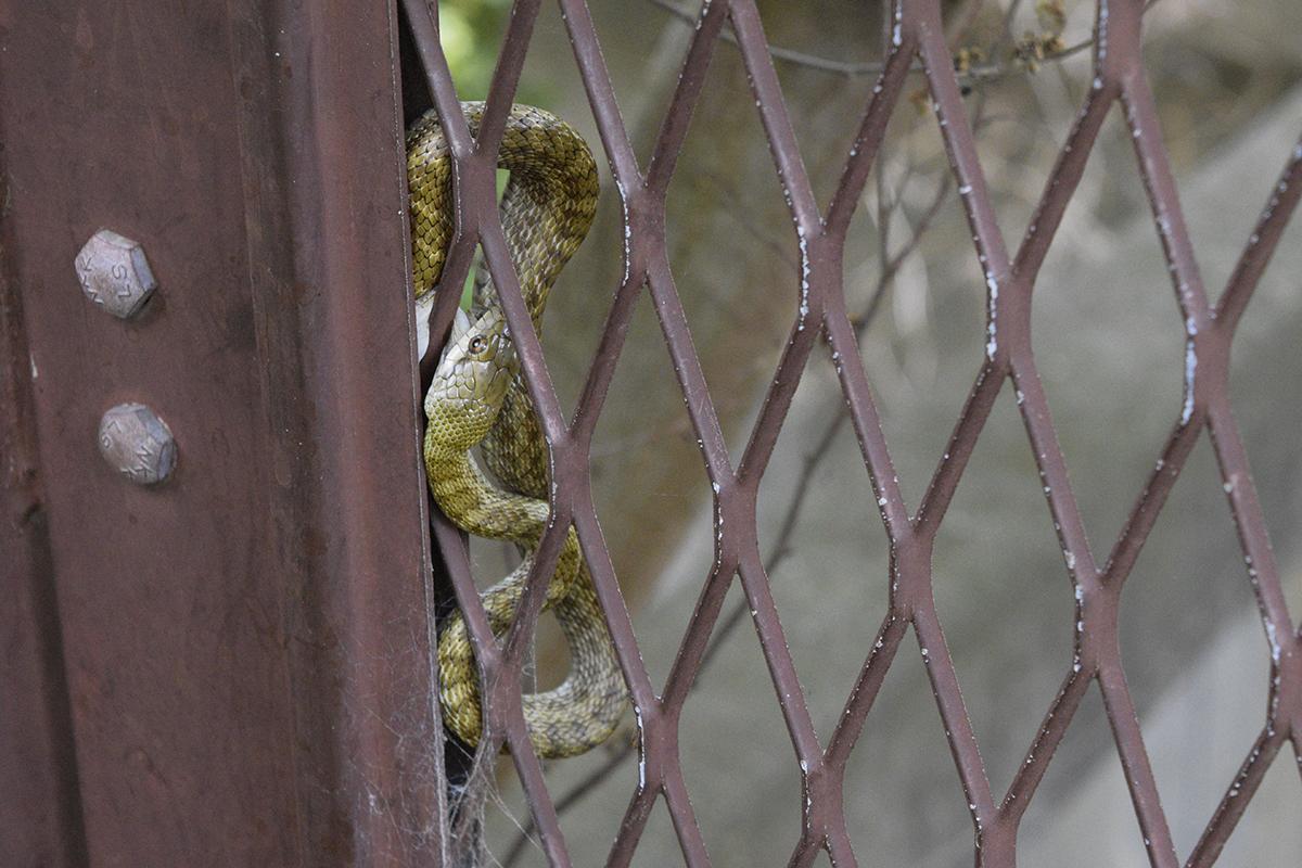 フェンスに絡まる蛇