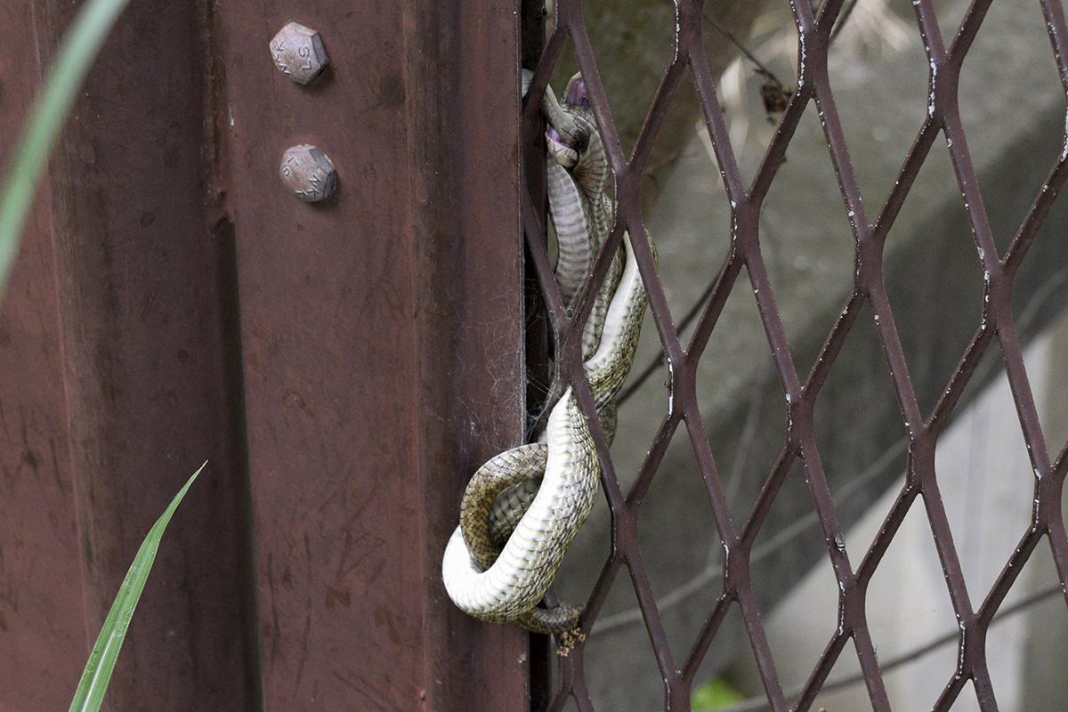 帰り道でまた遭遇した蛇