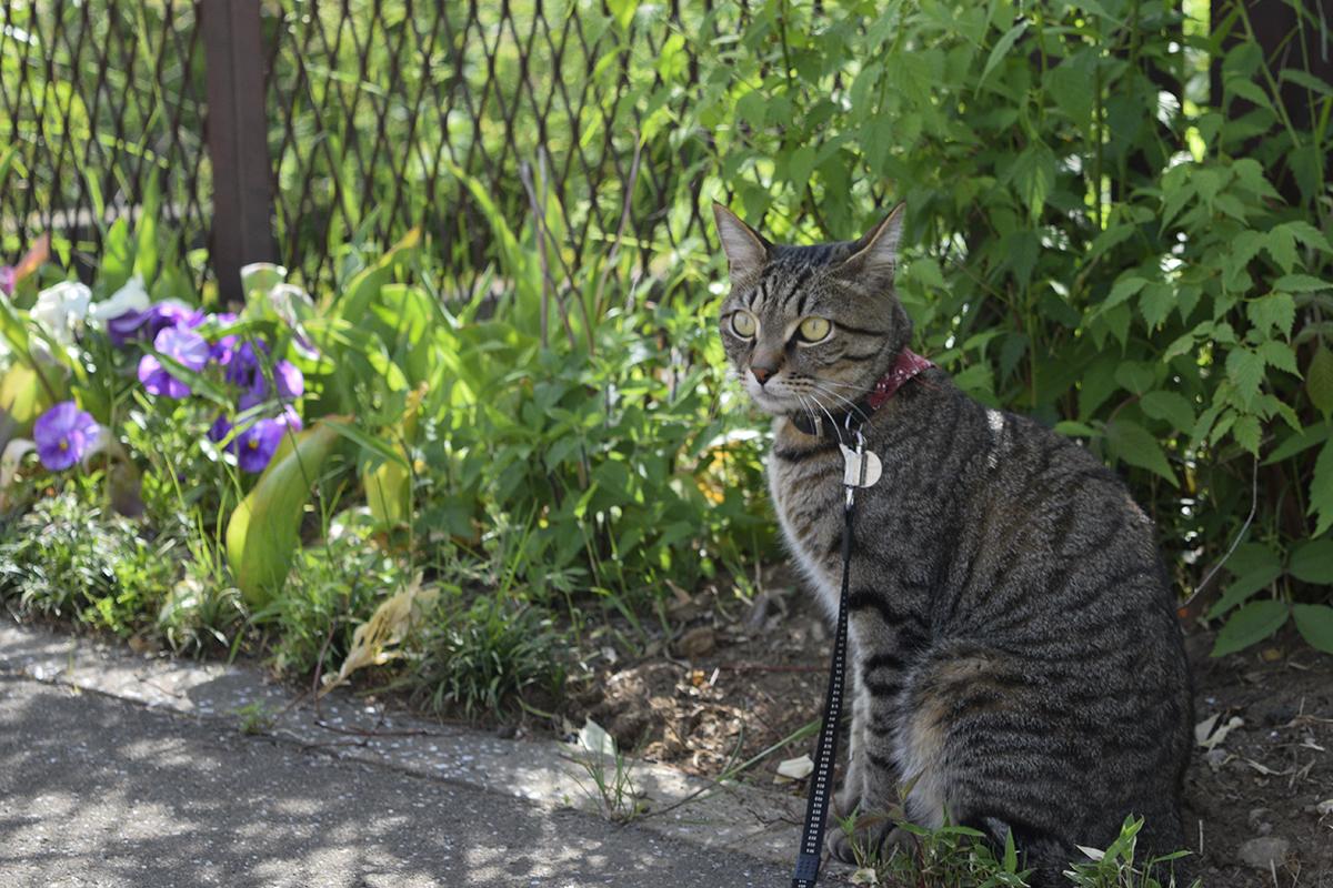 気を取り直してお散歩にでかけたキジトラ猫の虎ノ介