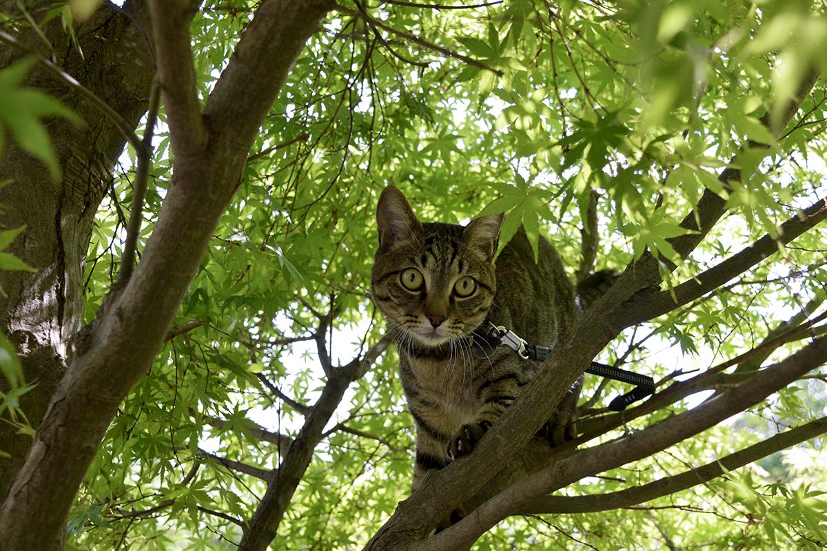 木の上でよろよろするキジトラ猫の虎ノ介