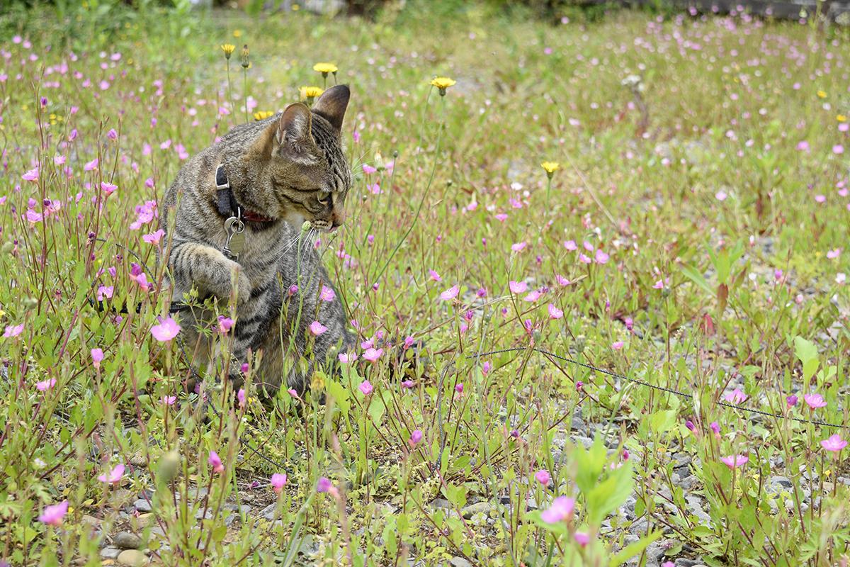 空き地で虫をおいかけるキジトラ猫の虎ノ介
