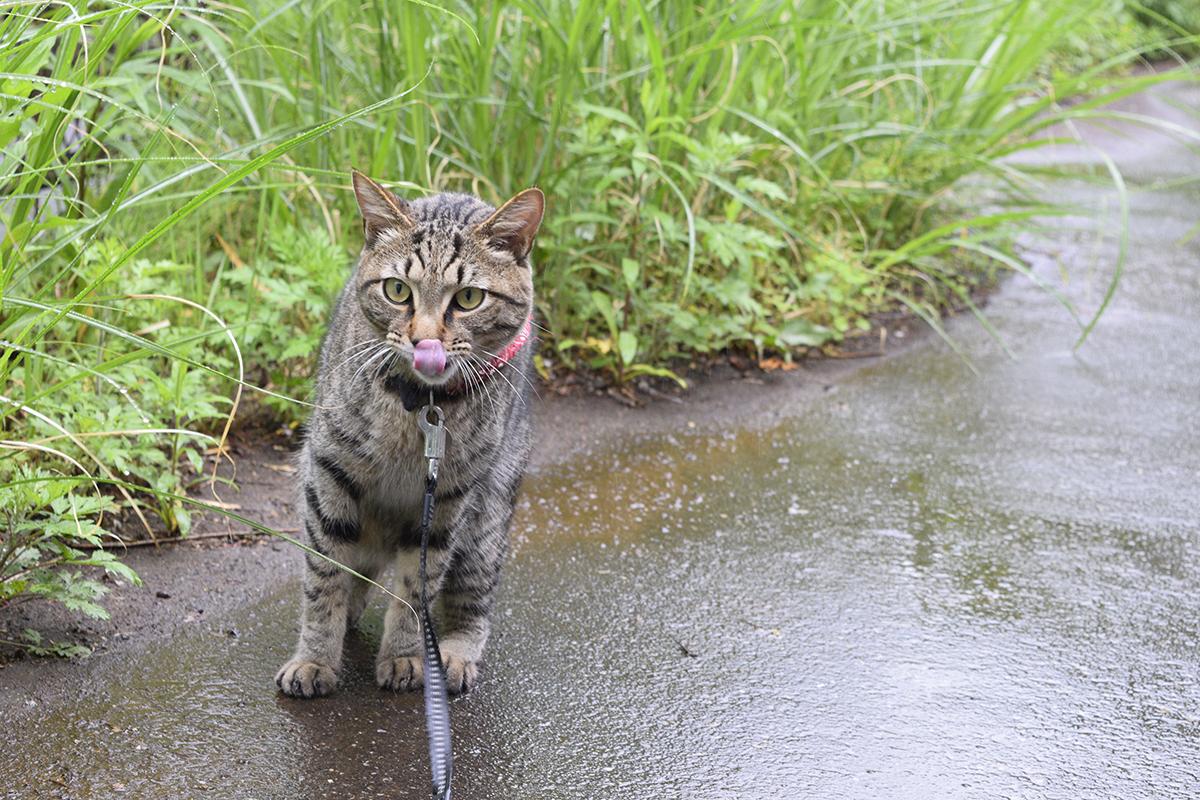 プルプルしたあとにペロをするキジトラ猫の虎ノ介