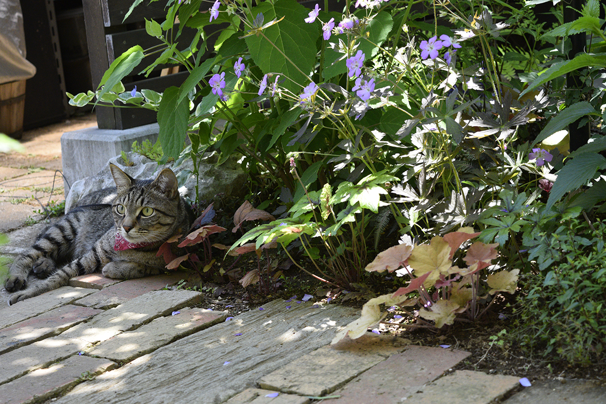木陰からカナヘビを探すキジトラ猫の虎ノ介