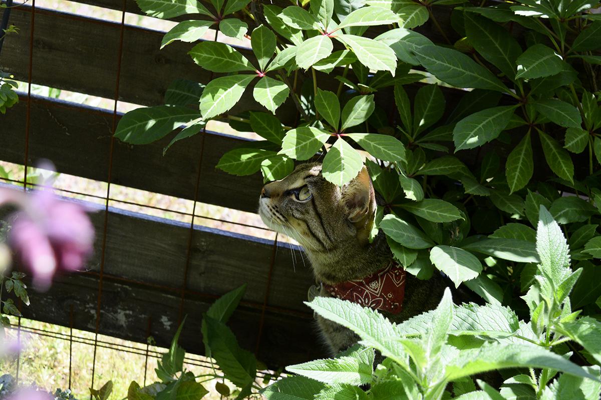花壇の中の日陰でくつろぐキジトラ猫の虎ノ介