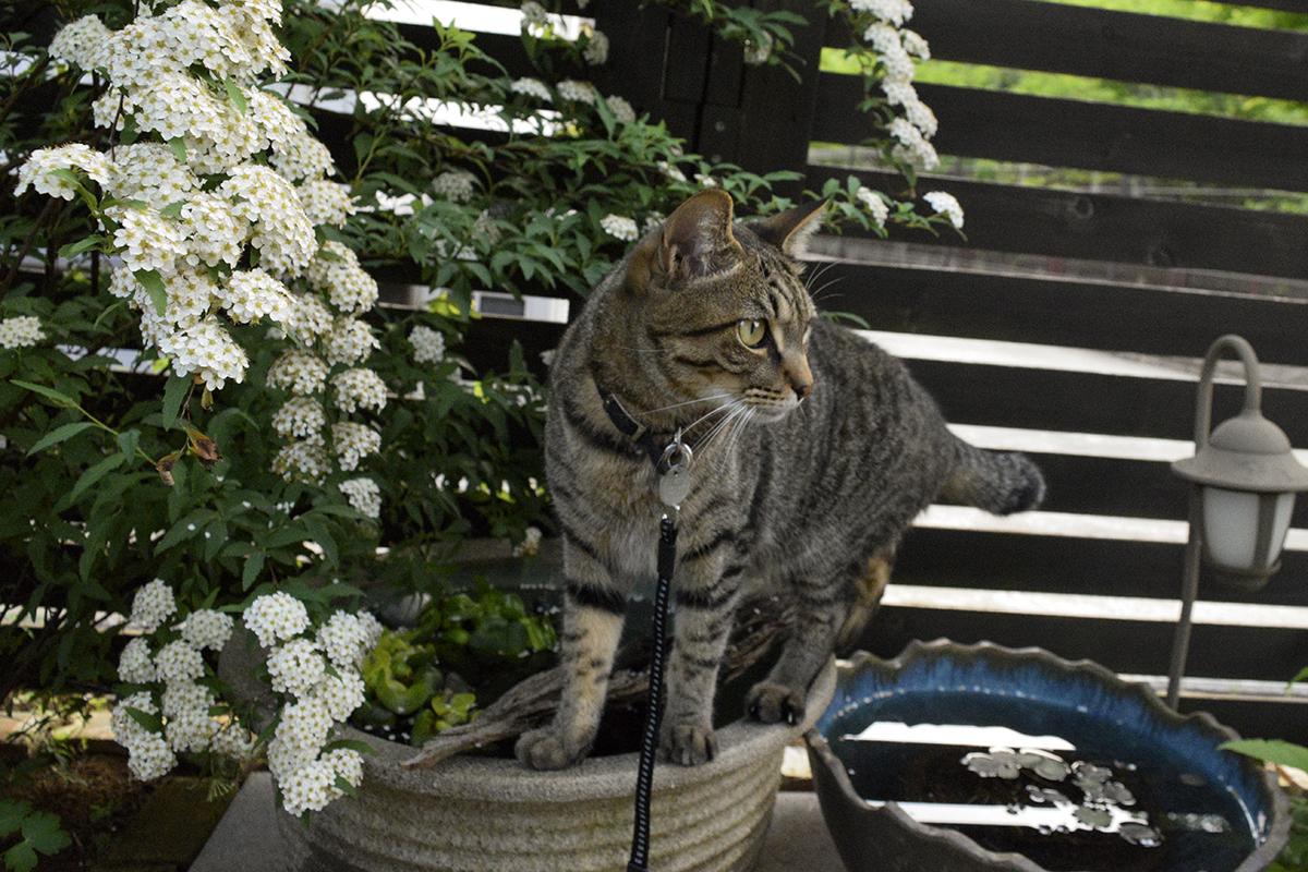 水鉢の上に立つキジトラ猫の虎ノ介