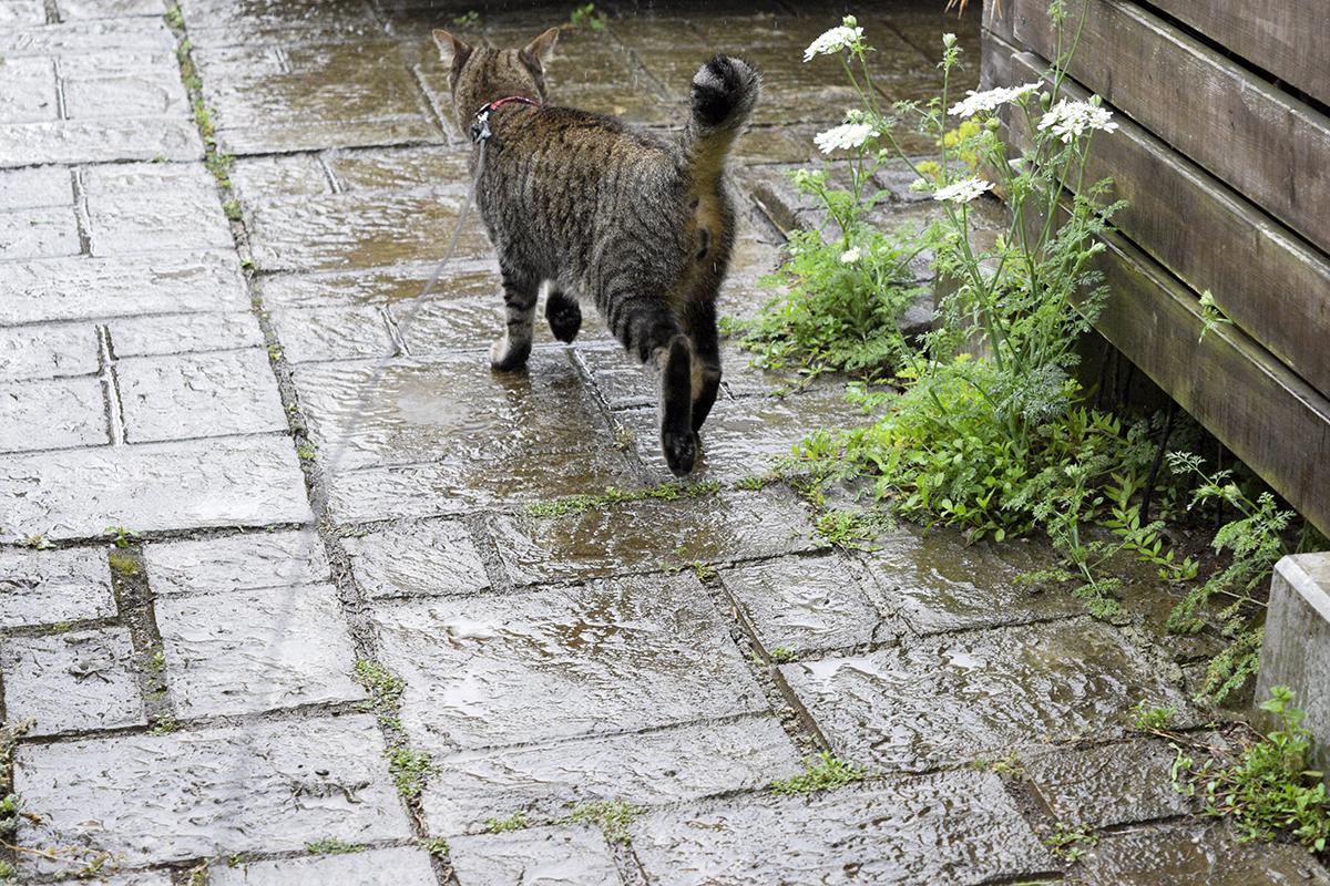 雨の中走るキジトラ猫の虎ノ介