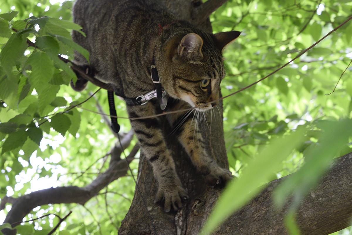 鳥をおいかけて木に登ったキジトラ猫の虎ノ介