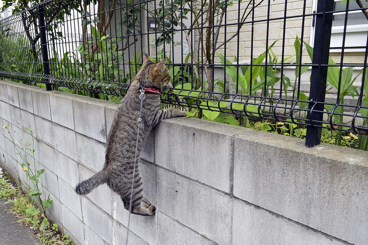 お隣のお庭を覗くキジトラ猫の虎ノ介