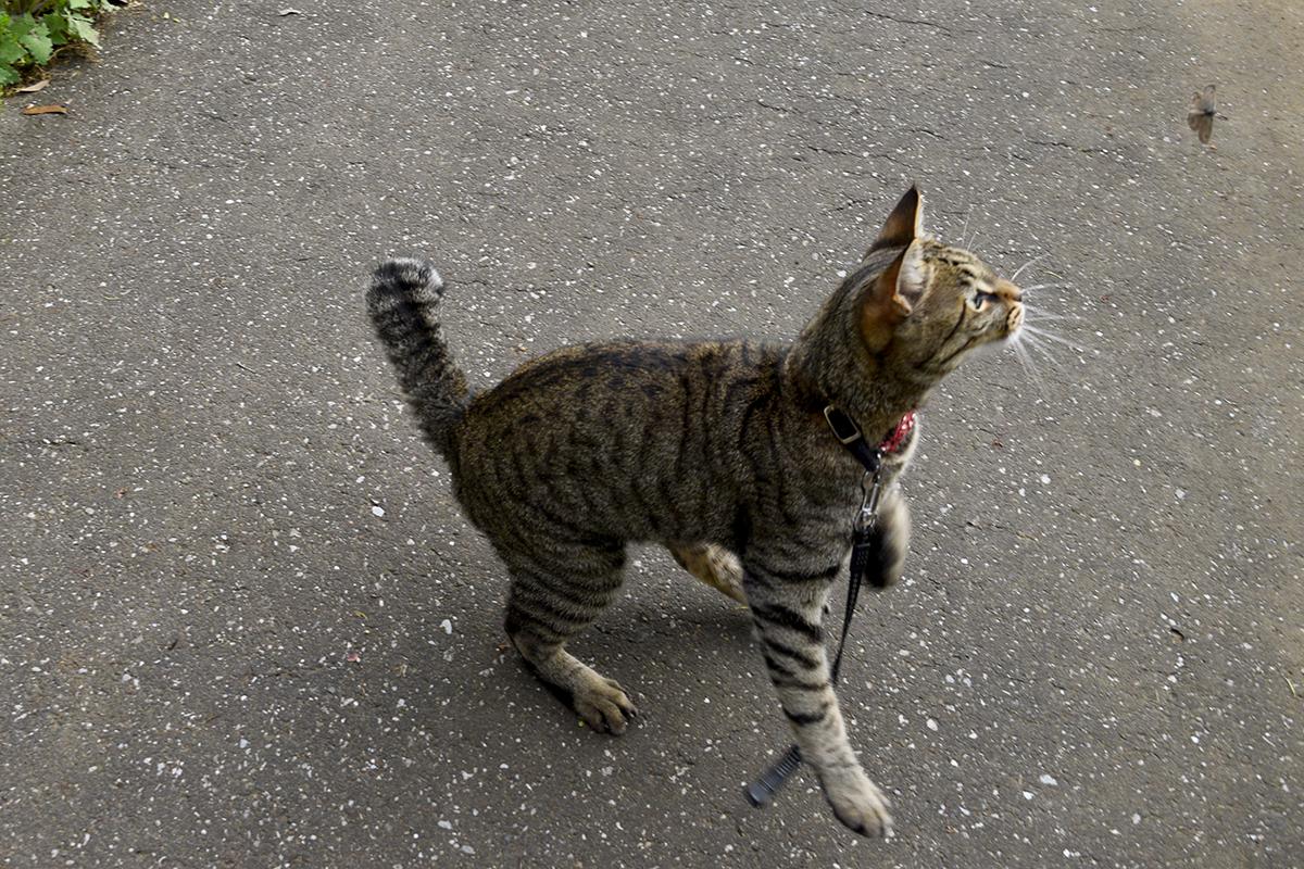 蝶を捕まえようとするキジトラ猫の虎ノ介