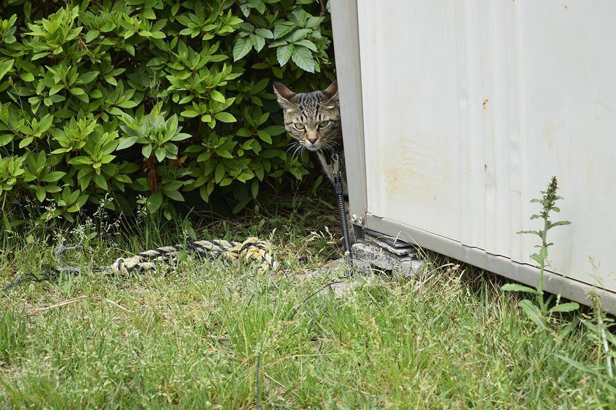 公園で物置の影から覗くキジトラ猫の虎ノ介