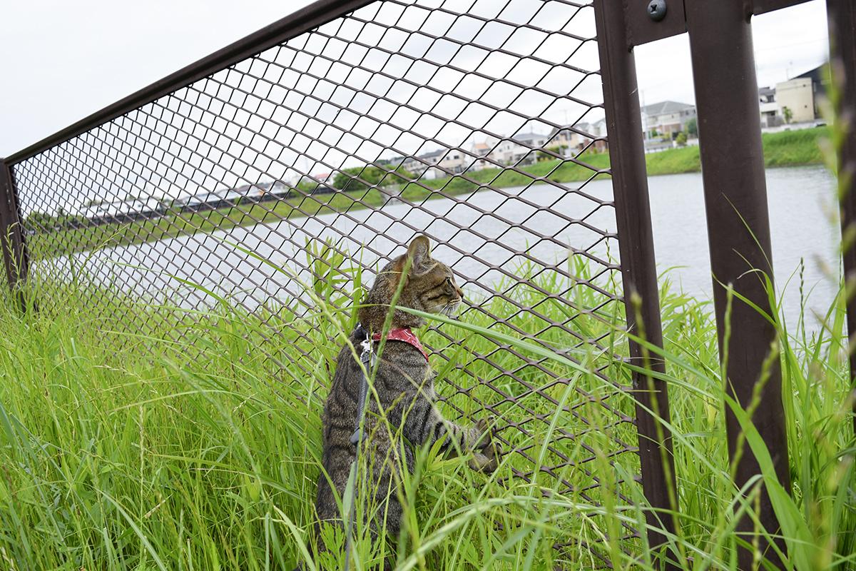 調整池でカモをみるキジトラ猫の虎ノ介