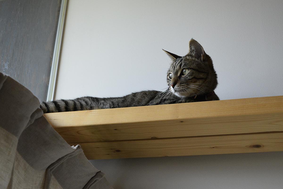 キャットウォークの上に移動したキジトラ猫の虎ノ介