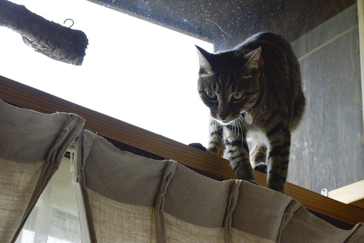 虫を追いかけるキジトラ猫の虎ノ介