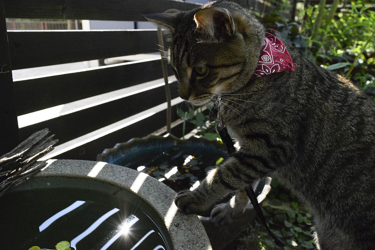 水鉢を覗くキジトラ猫の虎ノ介