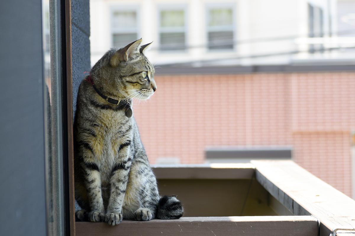 ベランダで外の天気をチェックするキジトラ猫の虎ノ介