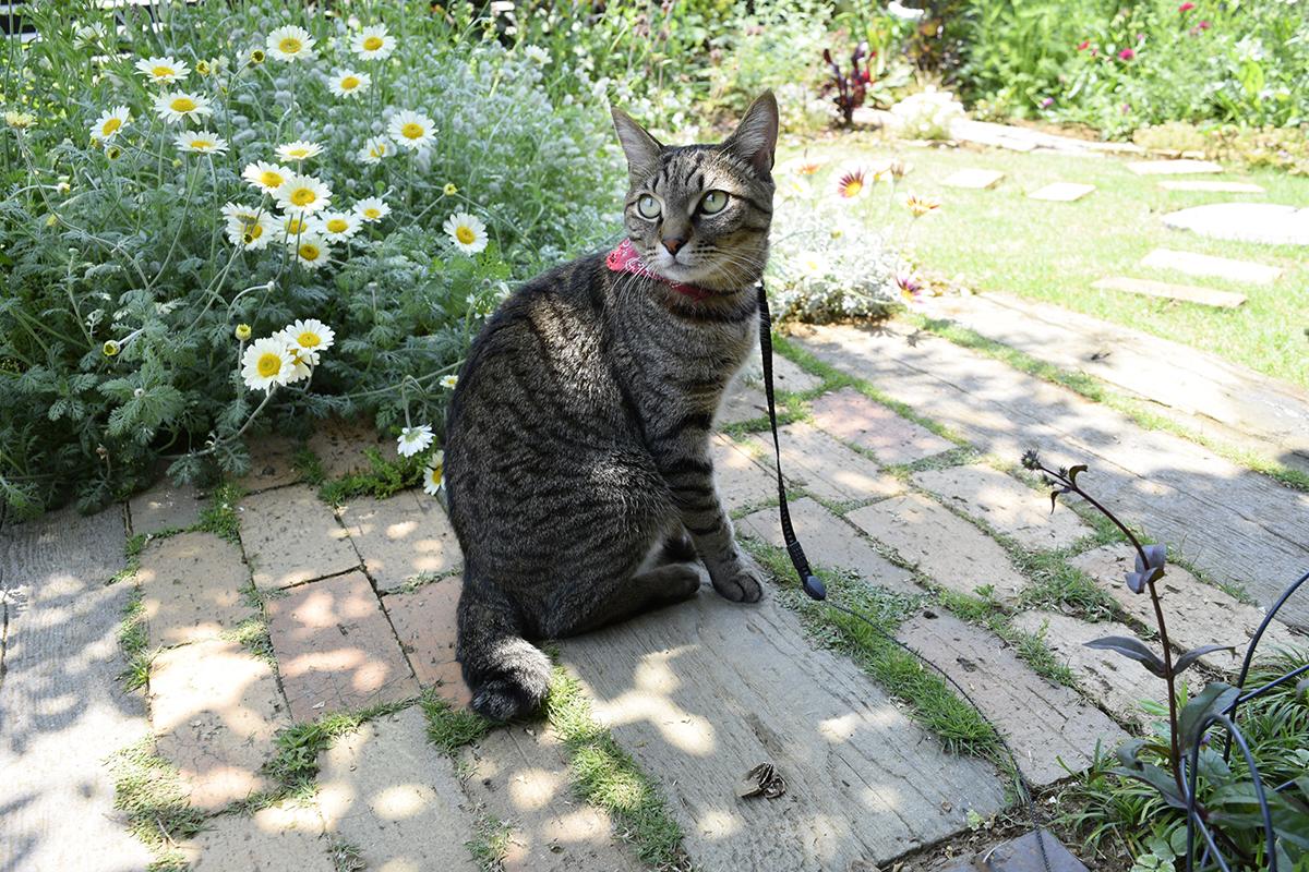 庭にでて周囲を眺めるキジトラ猫の虎ノ介