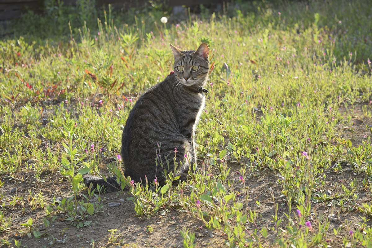 空き地で時間をつぶすキジトラ猫の虎ノ介