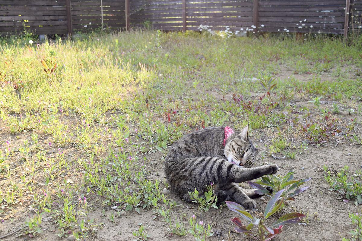 空き地で毛づくろいをするキジトラ猫の虎ノ介