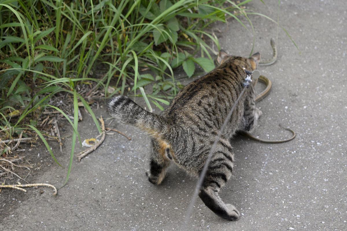 蛇に襲いかかるキジトラ猫の虎ノ介