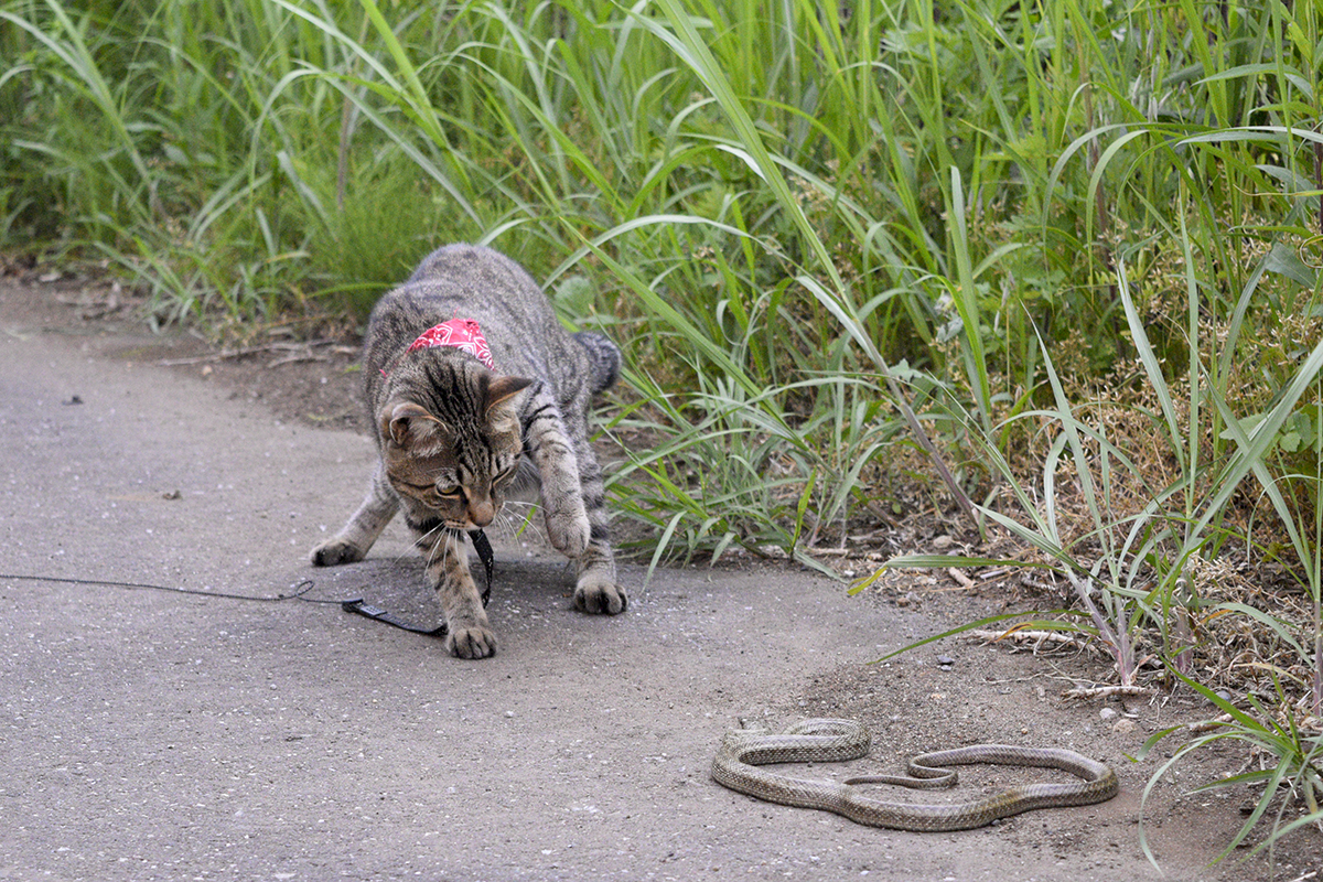 蛇を狙うキジトラ猫の虎ノ介
