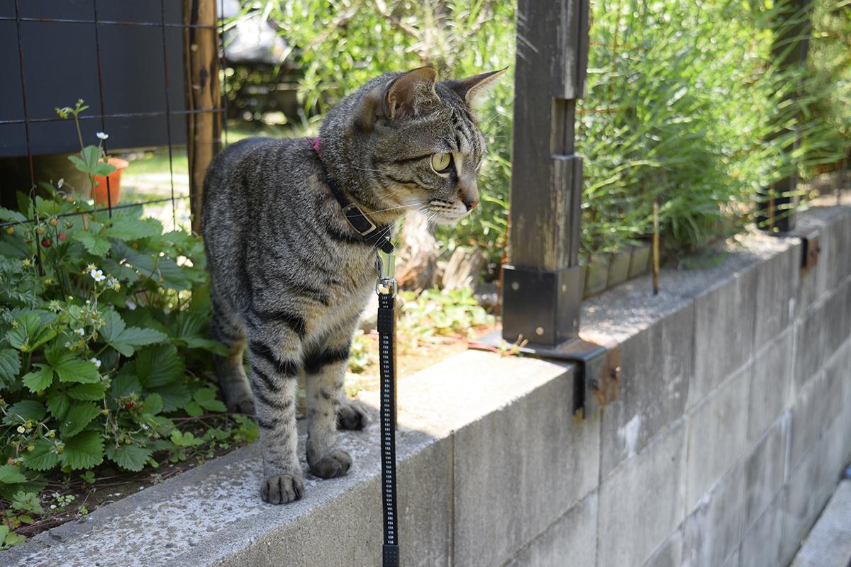 暑い中散歩にでかけるキジトラ猫の虎ノ介