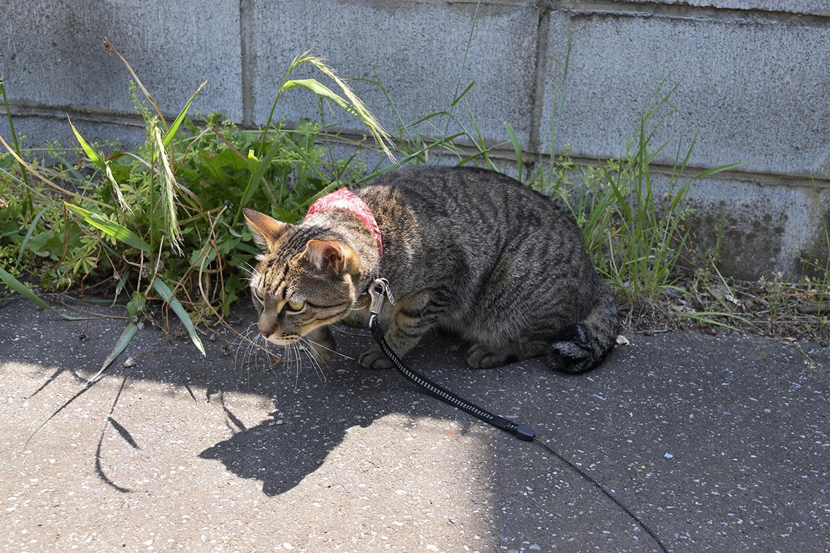 昨日蛇をみつけた場所に到着したキジトラ猫の虎ノ介