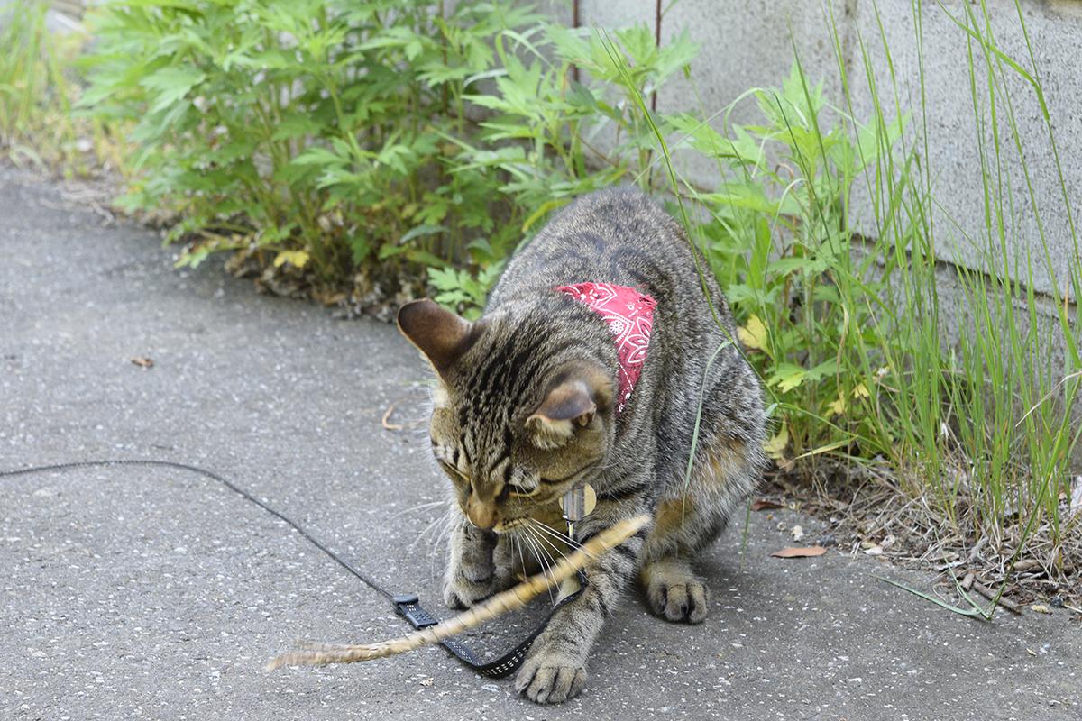 木の枝を蛇と間違えて捕まえるキジトラ猫の虎ノ介
