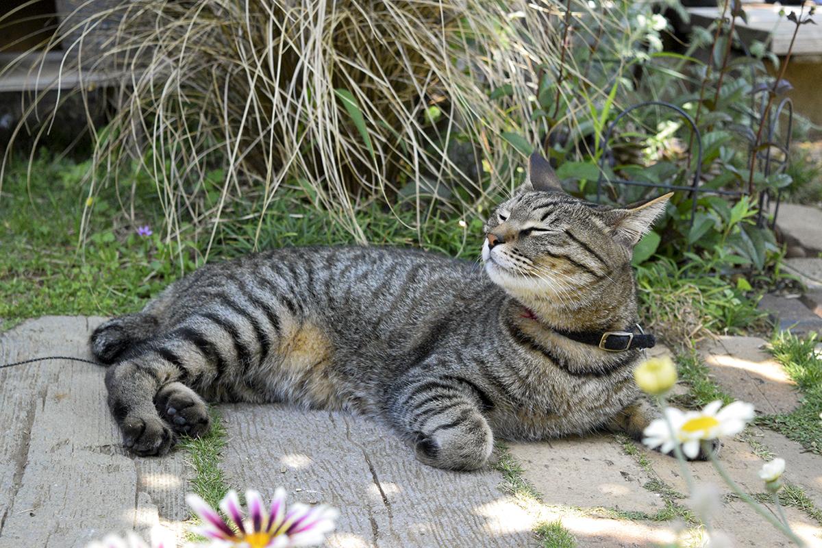 庭で匂いをかぐキジトラ猫の虎ノ介