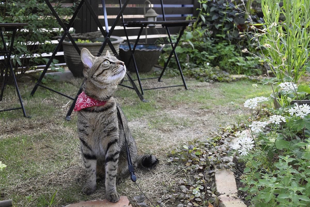 庭の木にとまっている雀が気になるキジトラ猫の虎ノ介