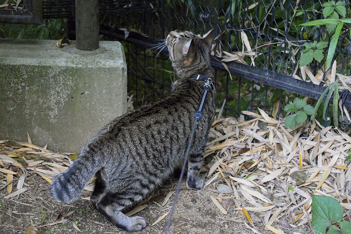 ヘビがいそうなところを探すキジトラ猫の虎ノ介