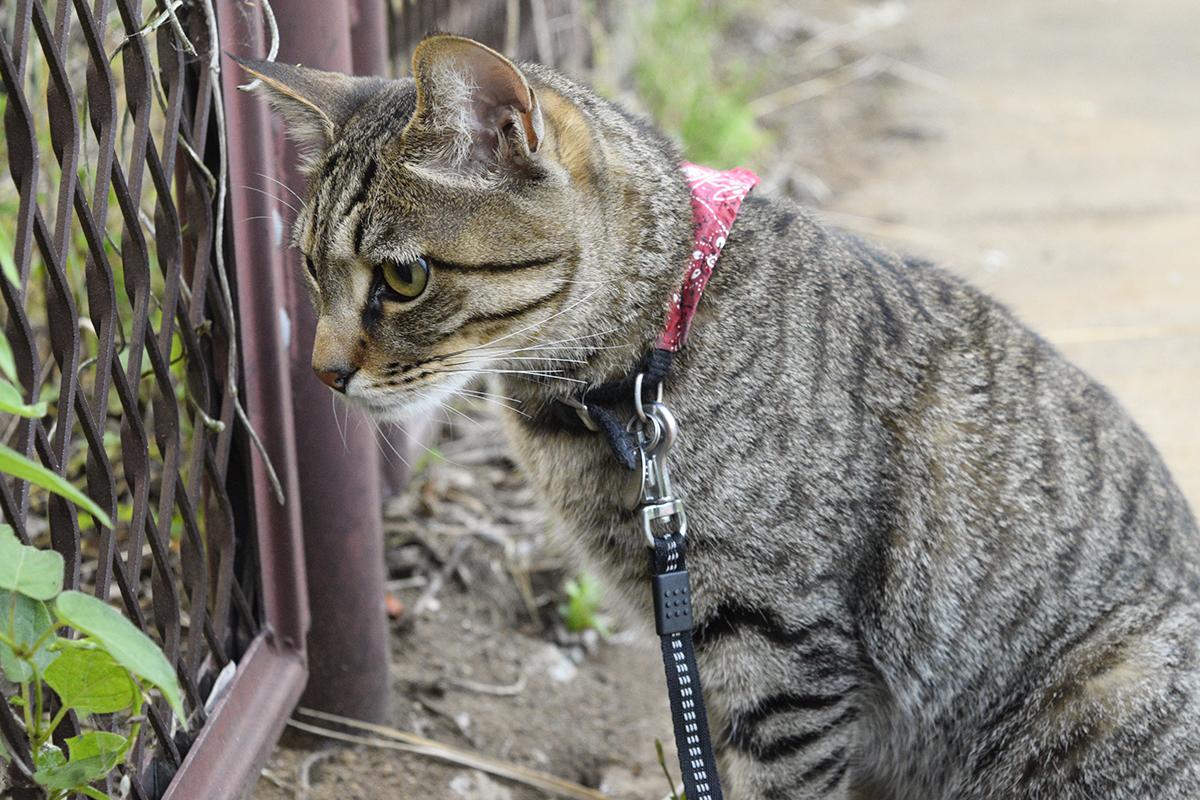 昨日蛇が逃げた場所を見つめるキジトラ猫の虎ノ介