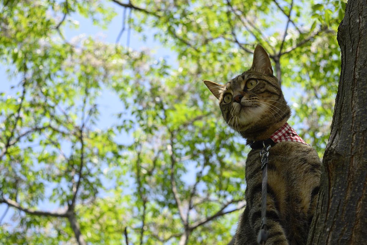 鳥に煽られて木に登ったキジトラ猫の虎ノ介