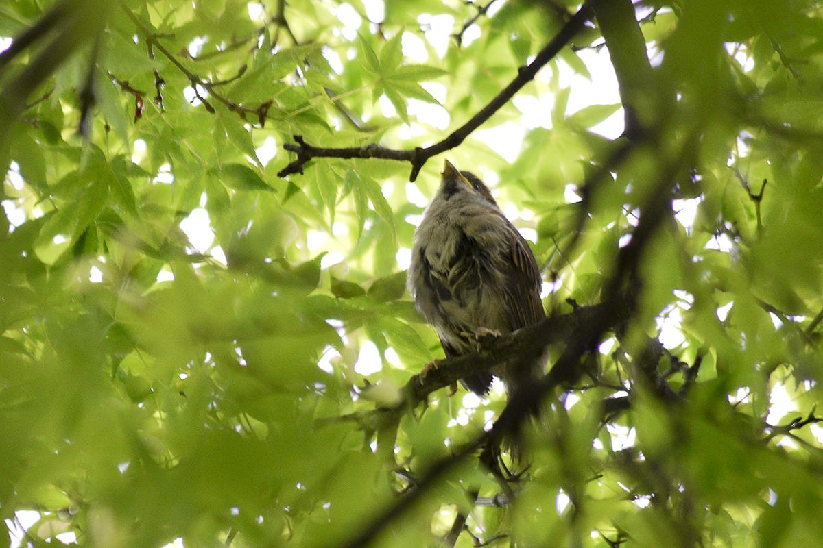 枝を行き来する小雀