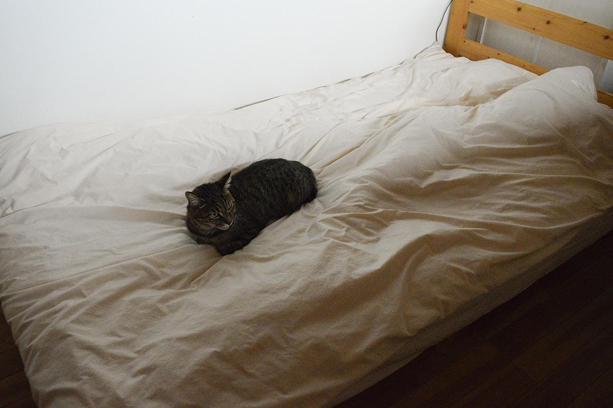 ベッドの中央に陣取るキジトラ猫の虎ノ介