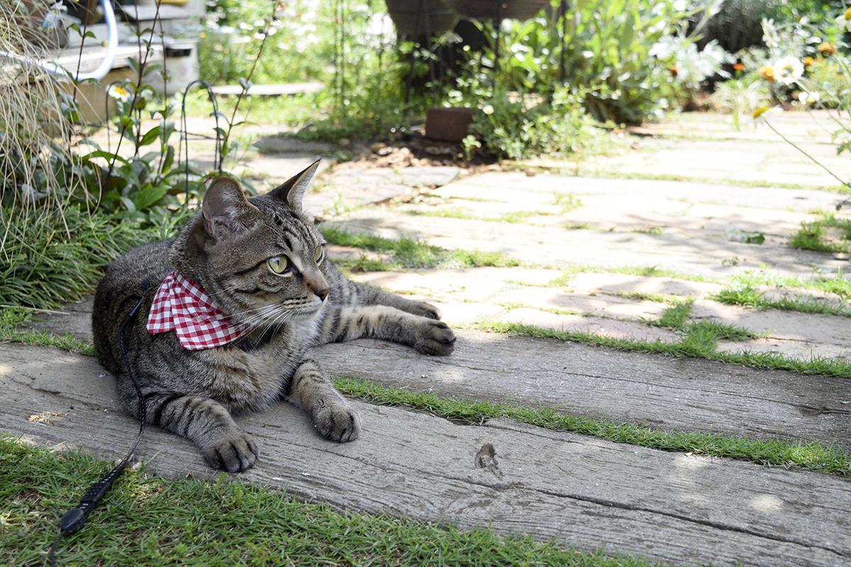 お庭でくつろぐキジトラ猫の虎ノ介