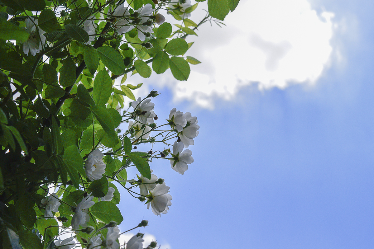 草ぶえの丘のバラ