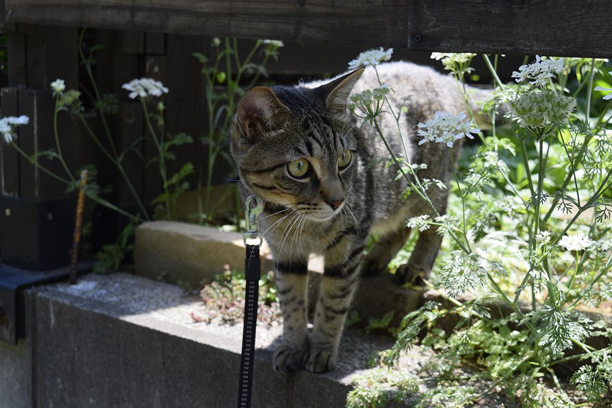 散歩に出発するキジトラ猫の虎ノ介